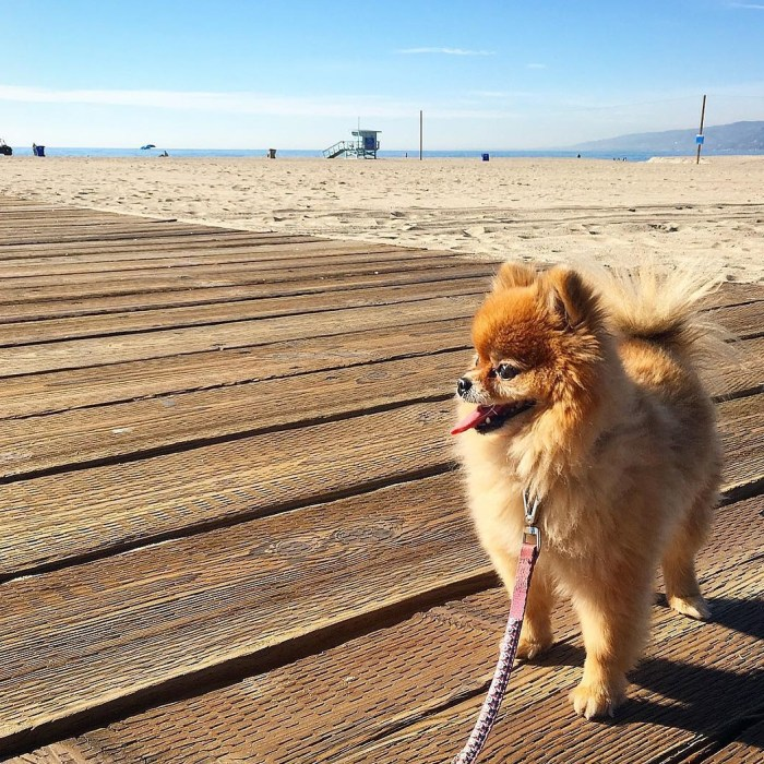 mimi-bear-mini-pomeranean-puppy-dog-walking-the-santa-monica-boardwalk-by-followmimibear-12-5-2016-3