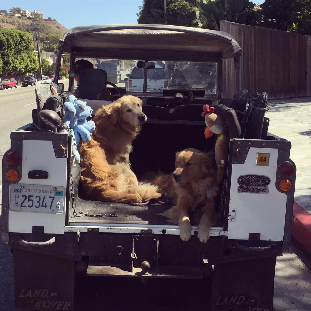 Golden Retrievers Living the California Lifestyle