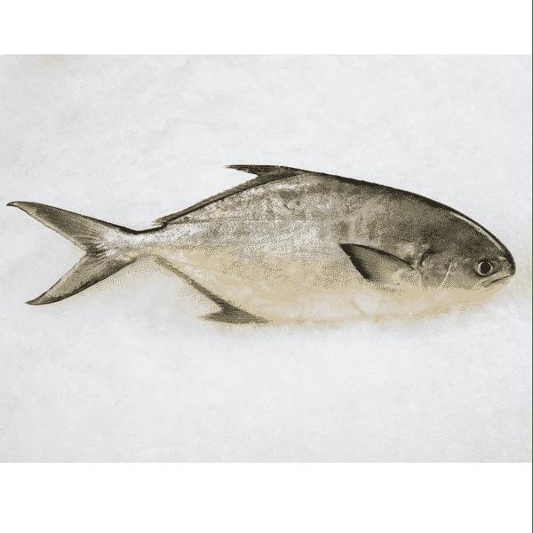 Wild Pompano Fish 野生金鲳鱼1.3 – 1.5..