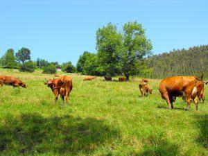 Vacas Pasiegas d'a ganadería d'Áurea Quintial