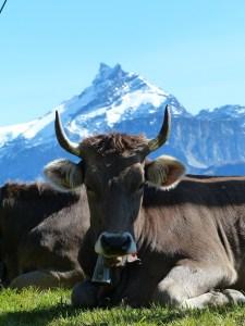 Vaca en zona de montaña