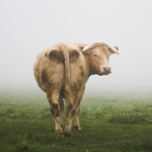 cow-472842_1280