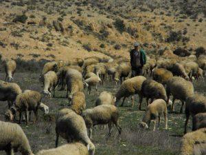 Pastoreando a finales del invierno en Torrecilla de Valmadrid (Zaragoza)