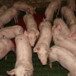 A la industria porcina le plega o suyo San Martín