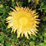 Una planta protectora con forma de sol llamada carlina