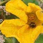 Los abejorros -y nuestra agricultura- en peligro