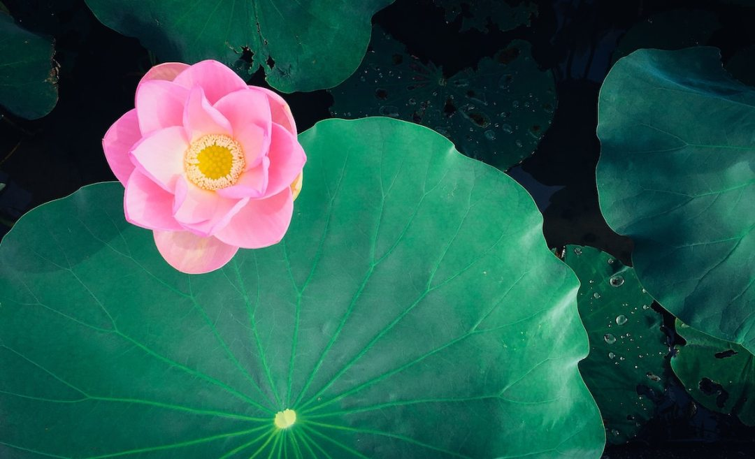 photo of a pink lotus flower on green leaf by kimiko shimizu