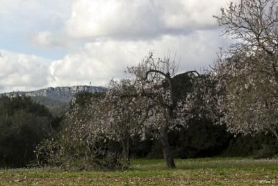Mandelblüten - Randa im Hintergrund