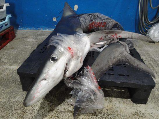 tiburón lonja de Palma
