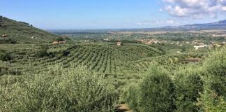 cultivos olivos ullastres mallorcas