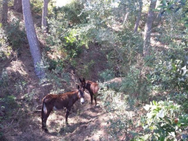 260517 burros en capdepera