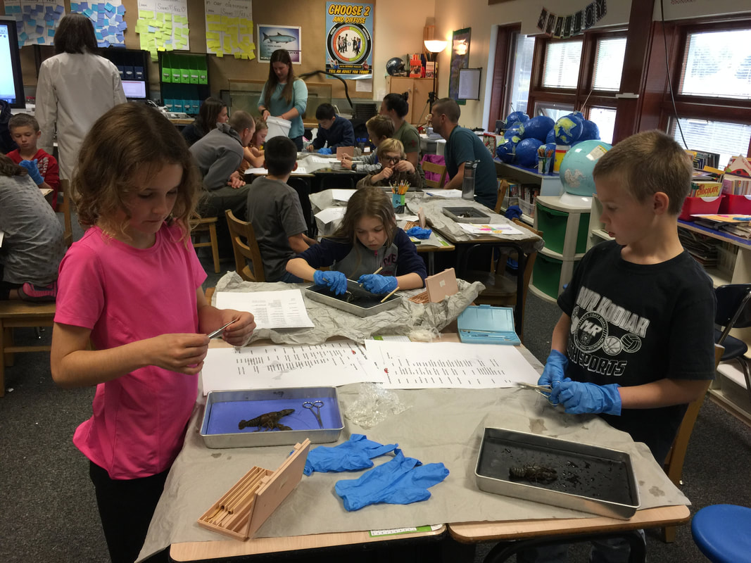 Crayfish Dissection