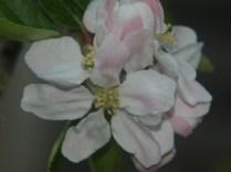 apple blossom close-up