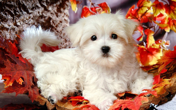Maltese puppy in the leaves