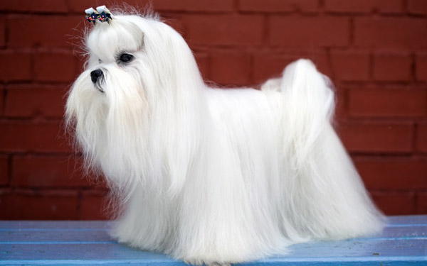 Beautiful Show dog Maltese