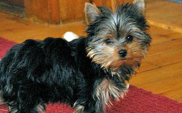 Little Yorkie puppy on red rug