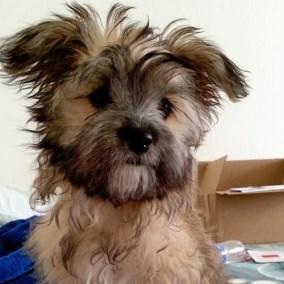 morkie-puppy-morkies-100