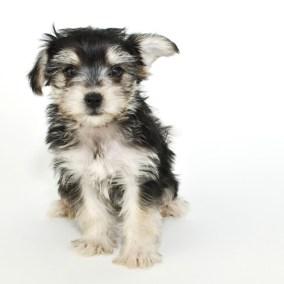 morkie-puppy-morkies-103