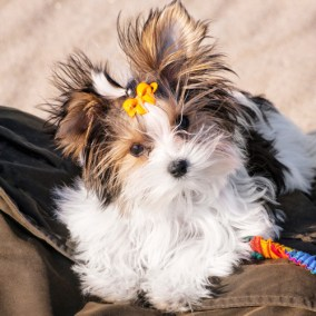 morkie-puppy-morkies-120