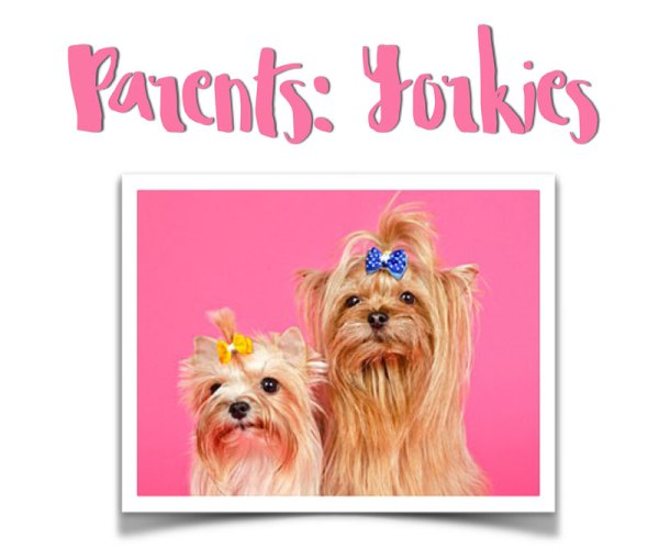 yorkie pictures