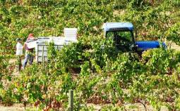 Workers empty their small buckets into the crates scattered through the vineyard, which are then collected and transported to the winery at Malvedos