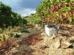 In the pickers' wake are left cut foliage and inferior grapes on the ground, and crates full of the best grapes