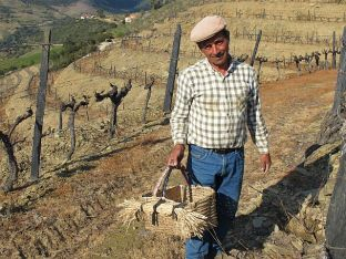 Fernando Claro heads off to work at Vila Velha, to graft falhas, missing vines, in the vineyard