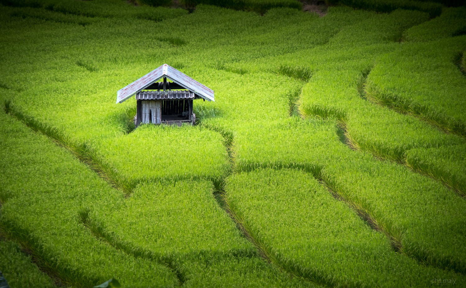 Wooden hut in the middle of rice fields