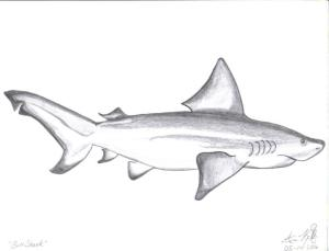 shark bull drawing drawings nature easy sketches simple author