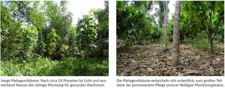 Junge Mahagonibäume