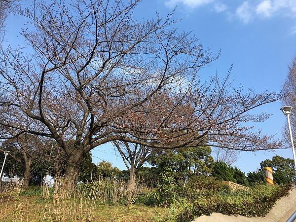 山下公園水の公園の桜
