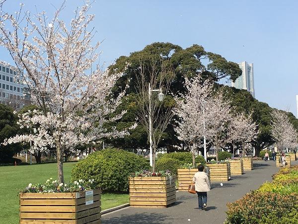 山下公園芝生公園の桜