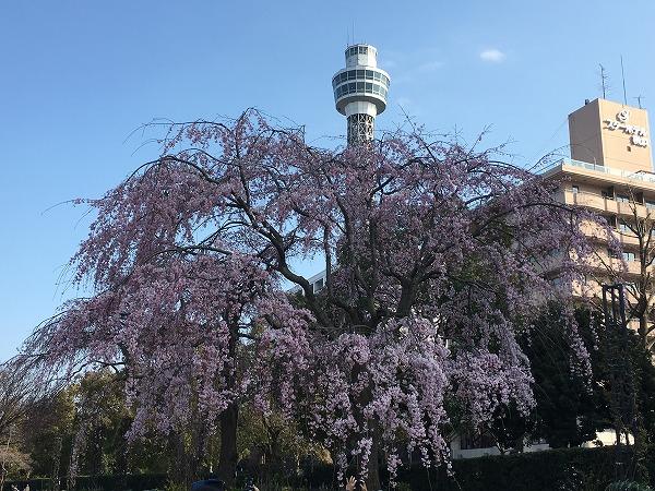 山下公園の桜の開花状況と見頃2018!夜のライトアップも超キレイ【随時更新】