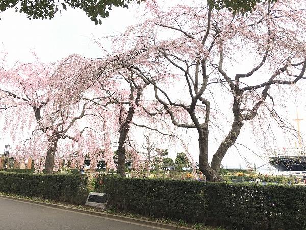 山下公園枝垂れ桜