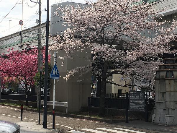 元町交番シドモア桜