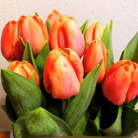 Tulpenfrische