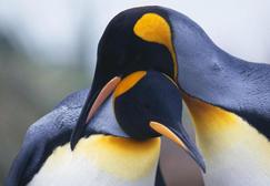 den pingvina