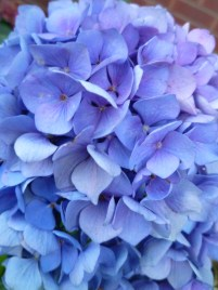 Blue and Purple Hydrangeas close up