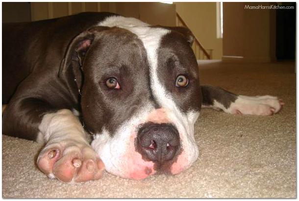 lazy pitbull | Mama Harris' Kitchen