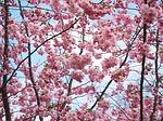 桜 photo