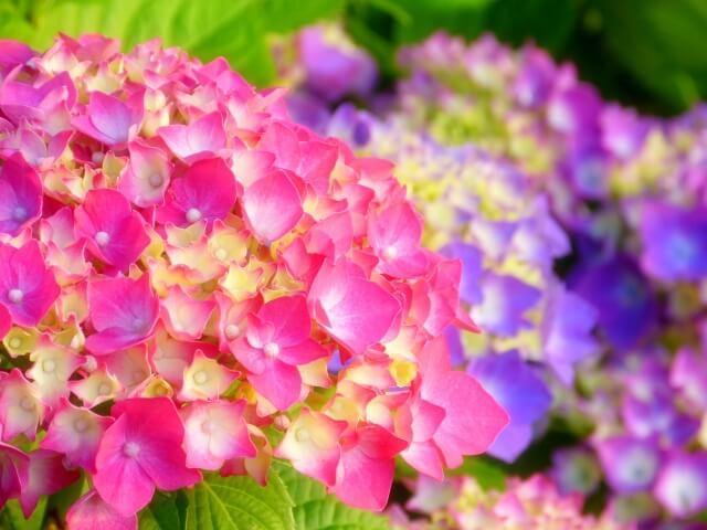 三原市の三景園、紫陽花祭りにお弁当の持ち込みは禁止!駐車場もなし!