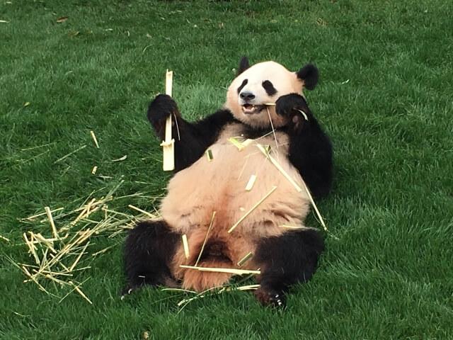 パンダみたいな熊