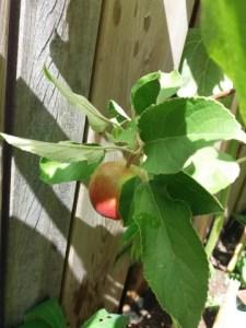 dagboek 19 appel in de tuin