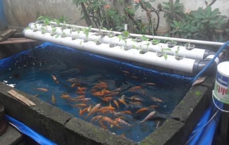 Kolam Terpal  m2n  Ikan  Akuaponik