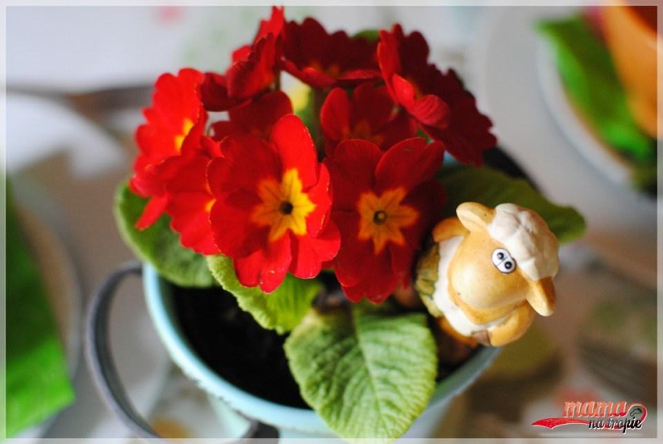 prymula, kwiaty na stole