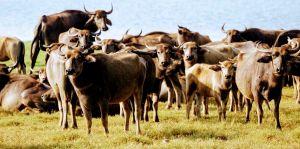 bufalo safari sigiriya