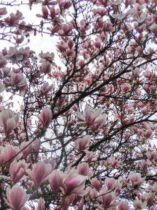magnolia 4-8