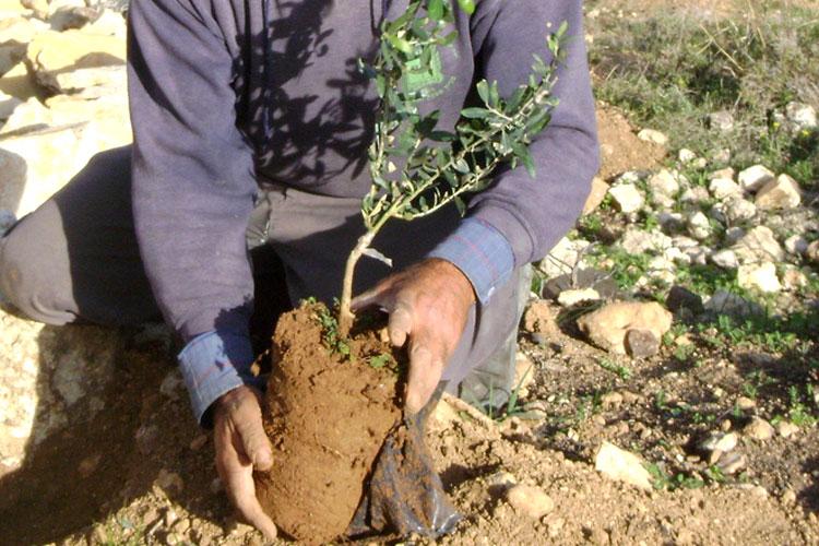 Sheroes_Gift_Guide_Palestinian_Olive_Tree_via_Mamnushkablog