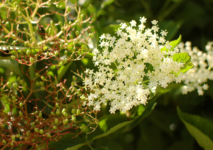 Elderflowers and Elderberries from Mamanushka.com