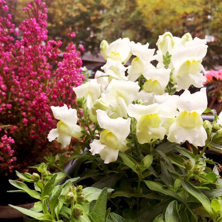 MAMANUSHKA.com    From Plant Killer to Glorious Garden Addict    Easy Plants For Beginners    Urban Garden    Snapdragons    Antirrhinums